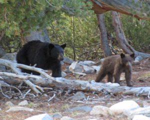 bear-w-cub-tcb